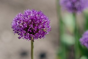 Onion Flower (Allium Aflatunense)