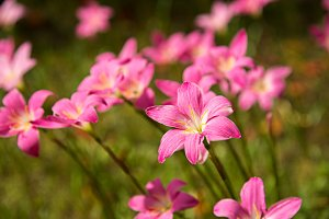 a group of pink rain lily flower