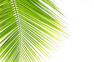 coconut leaves isolated