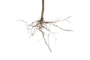 plant root isolated
