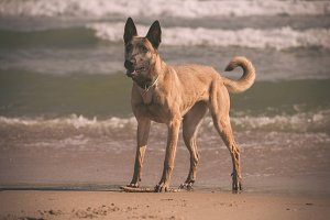 Malinois dog playing at the beach