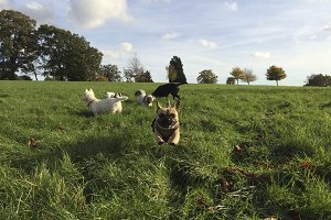 Dogs Running in Field French Bulldog