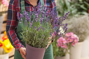 Florist holding lavender plant