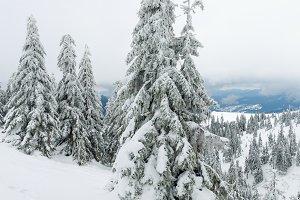 Snowy fir trees.
