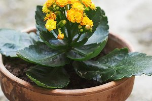 Orange flowers, kalanchoe plant