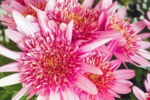 Chrysanthemum flowers closeup.