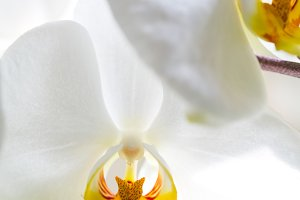 White Orchid with Yellow Centre