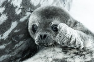 Cute baby seal in Antarctica