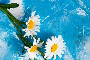 Daisy flowers.Summer card