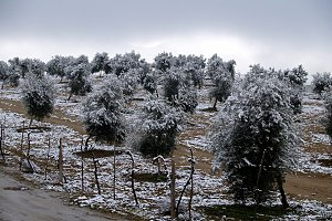 snowy landscape with olive trees