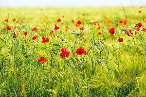 Red poppy flowers, summer field.
