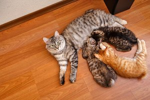 Bobtail cat and kittens.
