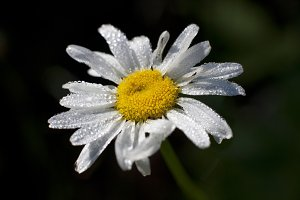 Dew-covered daisy