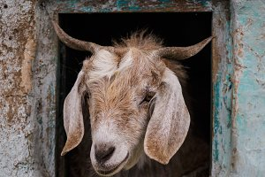 portrait of a goat in natural frame