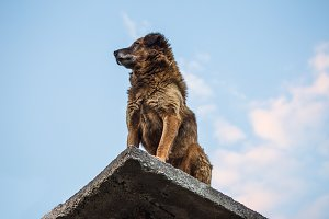 indian dog on the roof