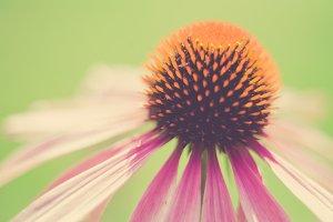 iseeyouphoto echinacea