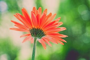 iseeyouphoto gerberaflower 1