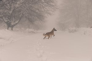 Dog running in the snowy forest