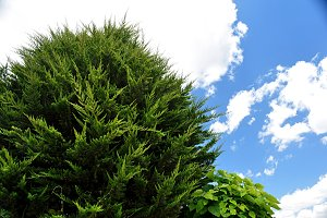green tree, cloud and blue sky