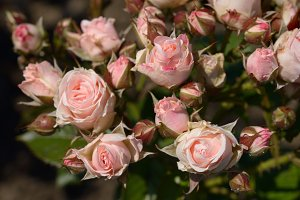 Light pink roses in garden