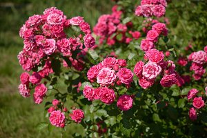 Bush of pink roses in garden