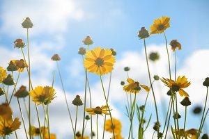 Tickseed flowers on sky background