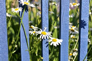 Daisies against a blue wooden fence