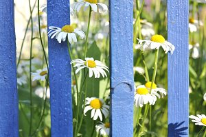Chamomile against a blue fence