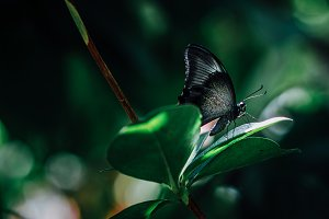 Black Butterfly on Leaf
