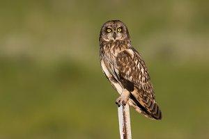 Female Short Eared Owl