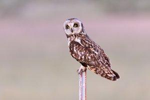 Male Short Eared Owl
