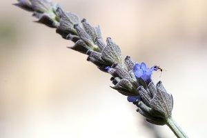 Ant on lavender flower