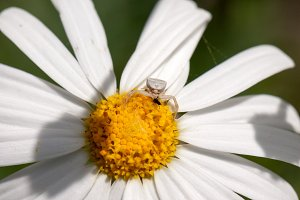 Crab spider on a flower