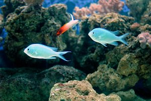 Green chromis and firefish