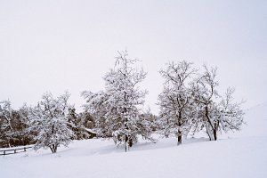 Trees in Winter Wonderland