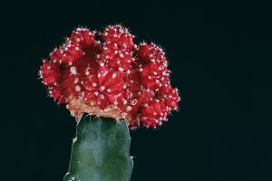 Moon Cactus – Red