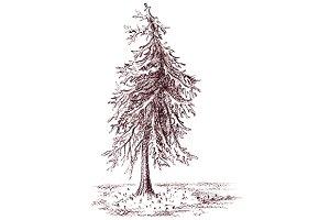 Monochrome sepia spruce pine tree