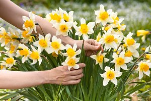 hands picking narcissus flowers