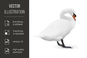 White swan isolated on white