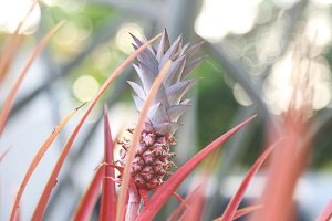 Tropical Pink Pineapple