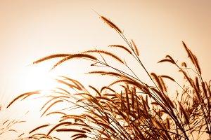 grass flower at sunset