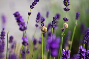 Lavender flowers with snail shells