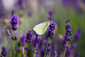 White butterfly on blooming lavender