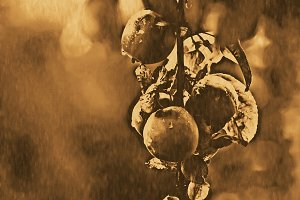 Apples. Vintage filtered image.