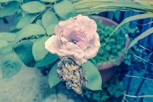Vintage Love Rose