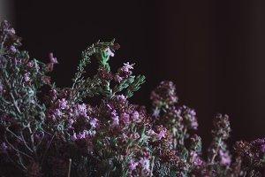 Rosemary plant