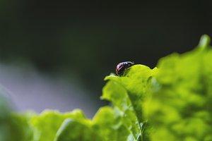 Ladybug on Leaf - Micro