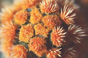 Cactus Macro – Orange