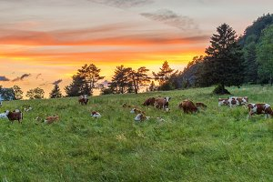 Cows on the meadow at Sunset