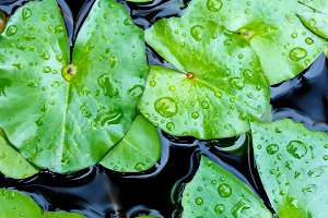 Drop of water on lotus leaf
